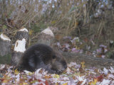 Beaver Next to Recently Felled Trees, Castor Canadensis, North America