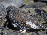 White-Tailed Ptarmigan, Lagopus Leucurus, in its Plumage Between Summer and Winter, North America