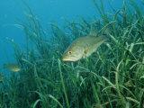Buy Largemouth Bass, Micropterus Salmoides, Usa, Florida, Fl at AllPosters.com