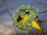 Vitelline Masked Weaver Building its Nest (Ploceus Vitellinus), Tanzania, Serengeti National Park