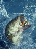 Buy Largemouth Bass Diving for Lure at AllPosters.com