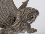 A Great Gray Owl Pouncing on its Prey, Strix Nebulosa, North America