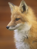 An Alert Red Fox Face (Vulpes Vulpes), Matmai National Park, Alaska, USA