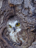 Northern Saw-Whet Owl in a Tree Hollow (Aegolius Acadius), North America