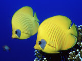 Masked Butterflyfish Egypt, Africa, Red Sea
