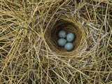 Red-Winged Blackbird Nest with Four Eggs in a Marsh, Agelaius Phoeniceus, North America