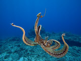 Day Octopus (Octopus Cyanea), Hawaii, USA