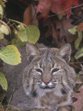 Bobcat Face (Lynx Rufus), North America