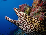 Black-Spotted Moray Gymnothorax Melanospilos Indian Ocean