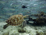 Green Sea Turtle (Chelonia Mydas) Swimming Among Schooling Jacks, Malaysia