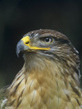 Ferruginous Hawk Head, Buteo Regalis, Southwestern USA