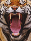 Bengal Tiger Face Showing Teeth and Tongue, Panthera Tigris, Asia