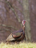 Wild Turkey Gobbler (Meleagris Gallopavo), North America