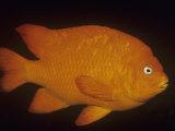 Garibaldi (Hypsypops Rubicundus), California, USA