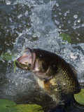 Buy Largemouth Bass, Plastic Lure, Lily Pads at AllPosters.com