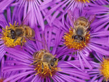 Honey Bees, Apis Mellifera, Pollinating New England Aster Flowers