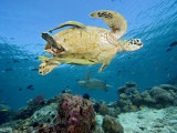 Two Remoras Cling to This Green Sea Turtle (Chelonia Mydas) Swimming over a Coral Reef, Malaysia