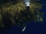 Harbor Seal (Phoca Vitulina) in Drifting Kelp Offshore, California, USA