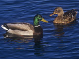 Male and Female Mallard Ducks, Anas Platyrhnchos, North America