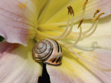 Brown-Lipped Banded Snail (Cepaea Nemoralis) on a Day Lily