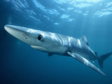 Blue Shark (Prionace Glauca), Southern California, USA