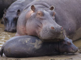 Hippopotamus, Hippopotamus Amphibius, Adult with its Young or Calf, Masai Mara, Kenya, Africa