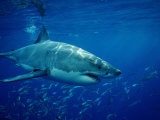 Great White Shark (Carcharodon Carcharias), Mexico, Pacific Ocean