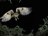 Long-Eared Owl in Flight, Asio Otus, North America