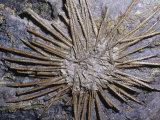Sea Urchin Fossil (Archeocidaris), 360-325 M.Y.A., Texas, USA