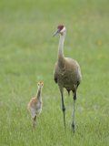 Sandhill Crane, Grus Canadensis, Parent with Chick, North America