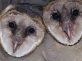 Barn Owl Faces, Tyto Alba, a Threatened Species, North America