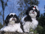 Shih Tzu Variety of a Toy Domestic Dog