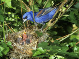 Male Blue Grosbeak (Guiraca Caerulea) at its Nest, Kentucky, USA