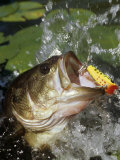 Buy Largemouth Bass with Surface Lure at AllPosters.com