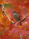 Male House Sparrow in Fall Maples (Passer Domesticus), North America