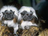 Cotton-Top Tamarins (Saguinus Oedipus), a New World Rainforest Primate, Columbia, South America