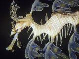 Leafy Sea Dragon (Phycodurus Eques), Southern Australia Reefs