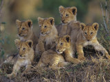 Six African Lion Cubs, Panthera Leo, Watching and Waiting for Mom to Return, Kenya
