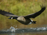 Canada Goose Taking Off, Branta Canadensis, North America