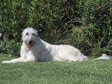 Irish Wolfhound Breed of Domestic Dog