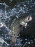 Buy Smallmouth Bass with Spinnerbait at AllPosters.com