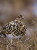 Female Willow Ptarmigan in Summer, Lagopus Lagopus, Canada