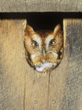 Eastern Screech Owl in a Nest Box (Otus Asio), Eastern North America