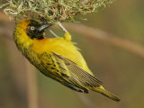 Lesser Masked Weaver Male at its Nest, Ploceus Intermedius, Lake Baringo, Kenya, Africa