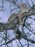 Leopard, Sabi Sands Reserve, South Africa, Africa