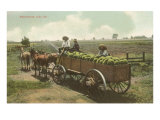 Watermelon in Cart, Lodi, California