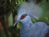 Exotic Blue Red-Eyed Bird, Kuala Lumpur Bird Park, Malaysia