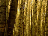Yellow Aspen Trees on Kebler Pass, Crested Butte, Colorado, USA