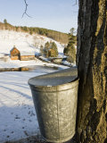 Sap buckets on Maple Trees, Pomfret, Vermont, USA