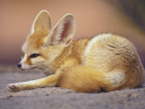 Fennec, North Africa